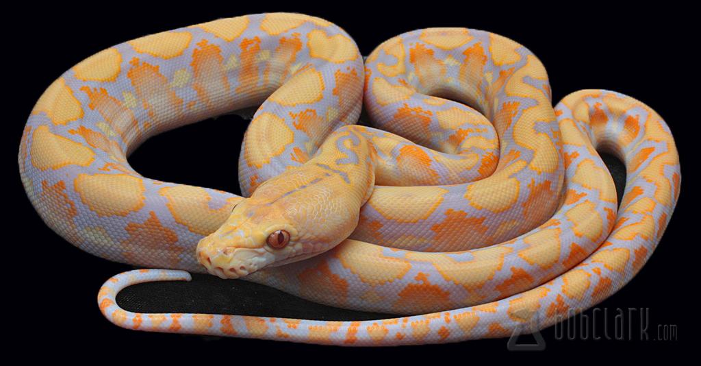 Lavender albino tiger reticulated python - photo#26
