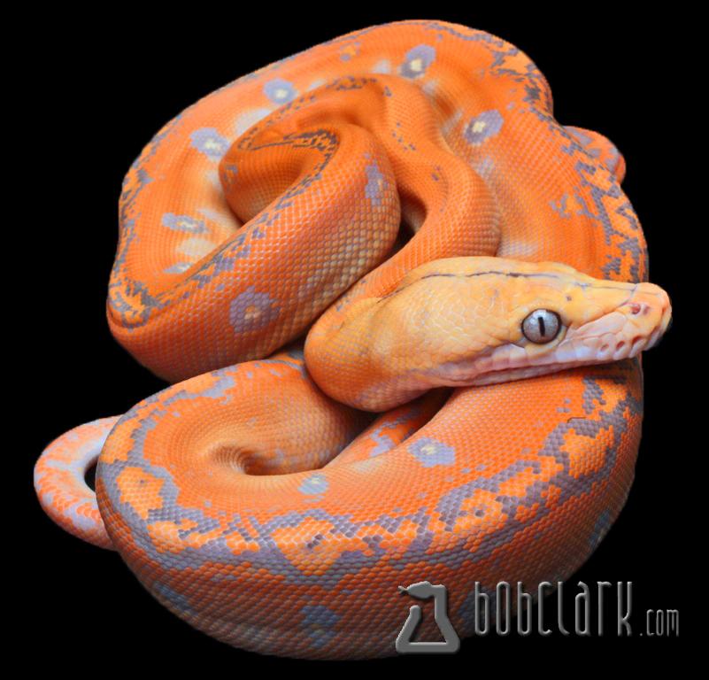 Lavender albino tiger reticulated python - photo#24