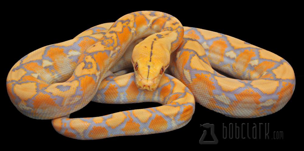 Lavender albino tiger reticulated python - photo#5
