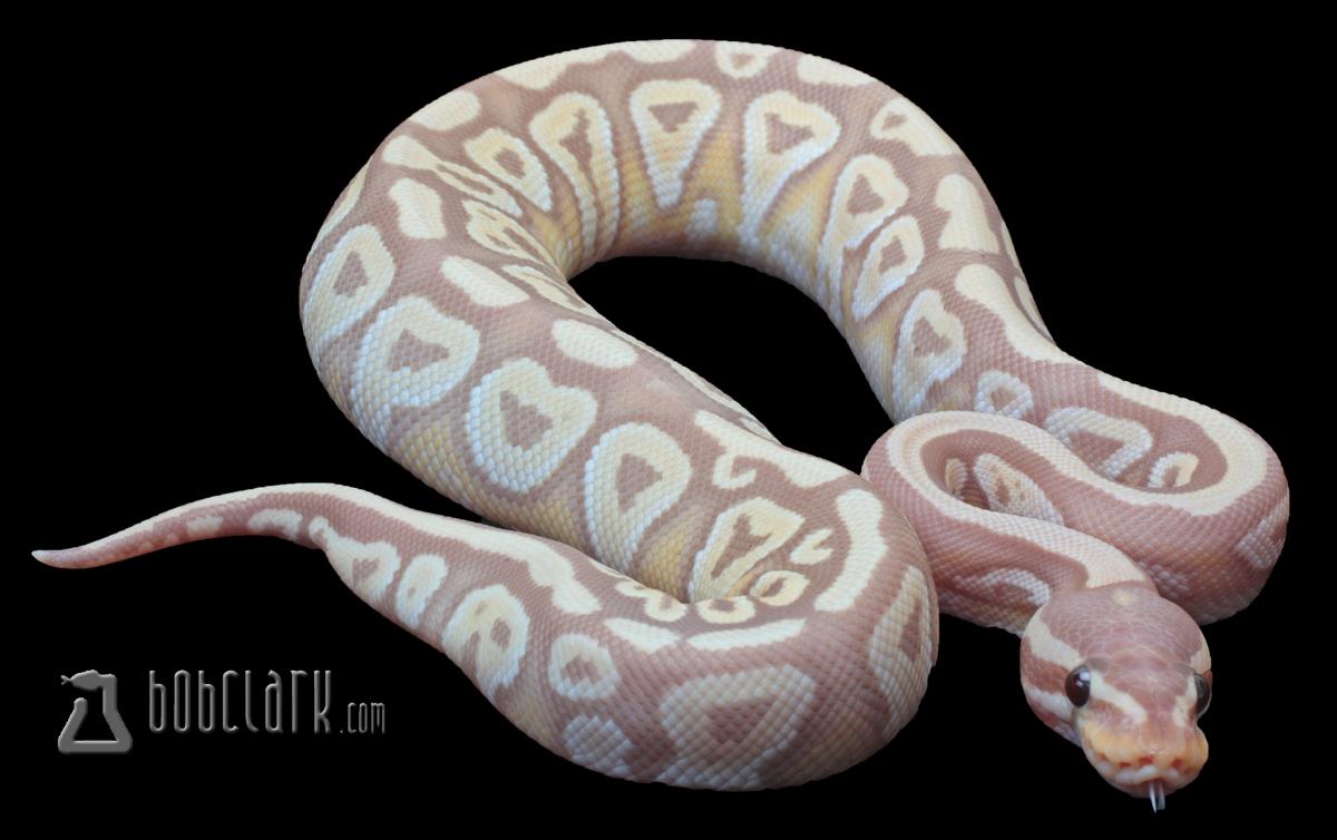 banana mojave ball python