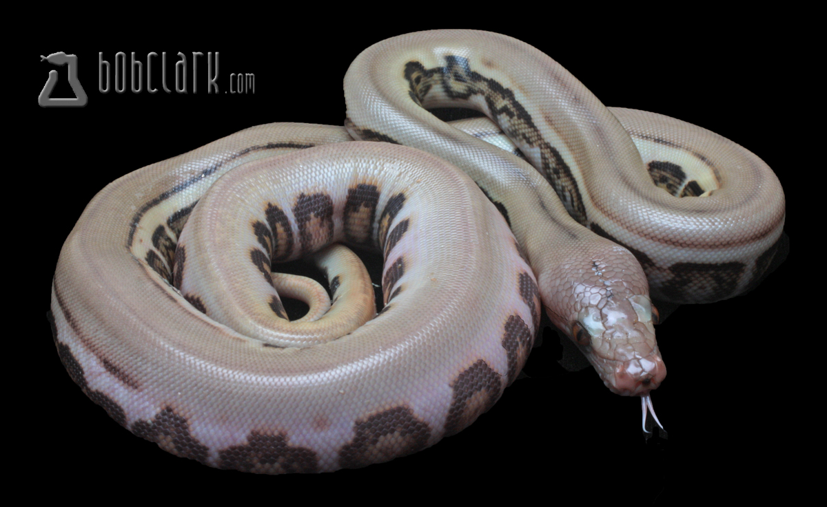 Bob Clark - Available Reticulated Pythons