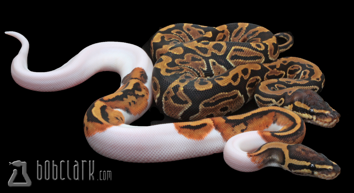 Pied male and het pied female