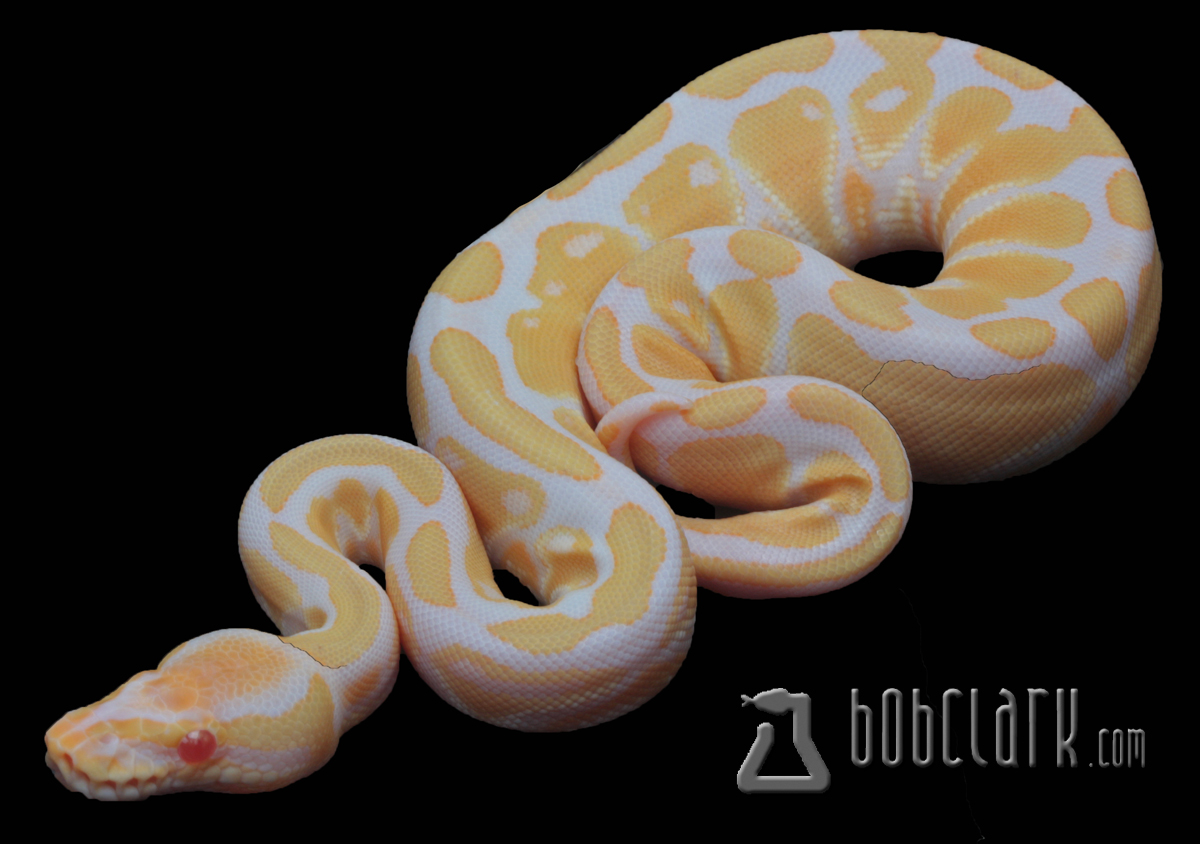 albino black pastel ball python - HD 1200×844
