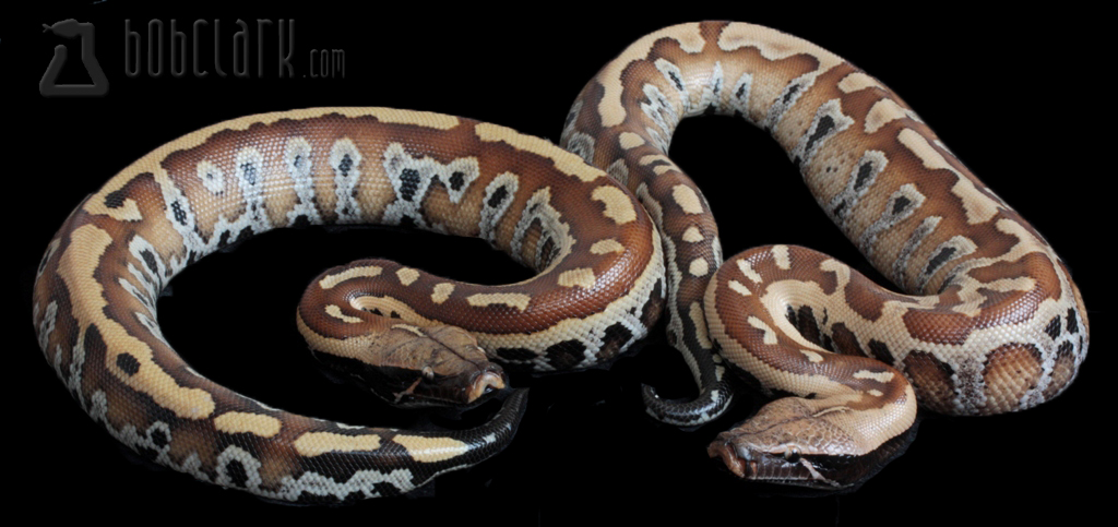 Red blood pythons