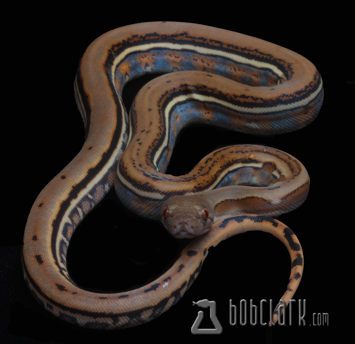 Bob Clark Reptiles : Available Reticulated Pythons