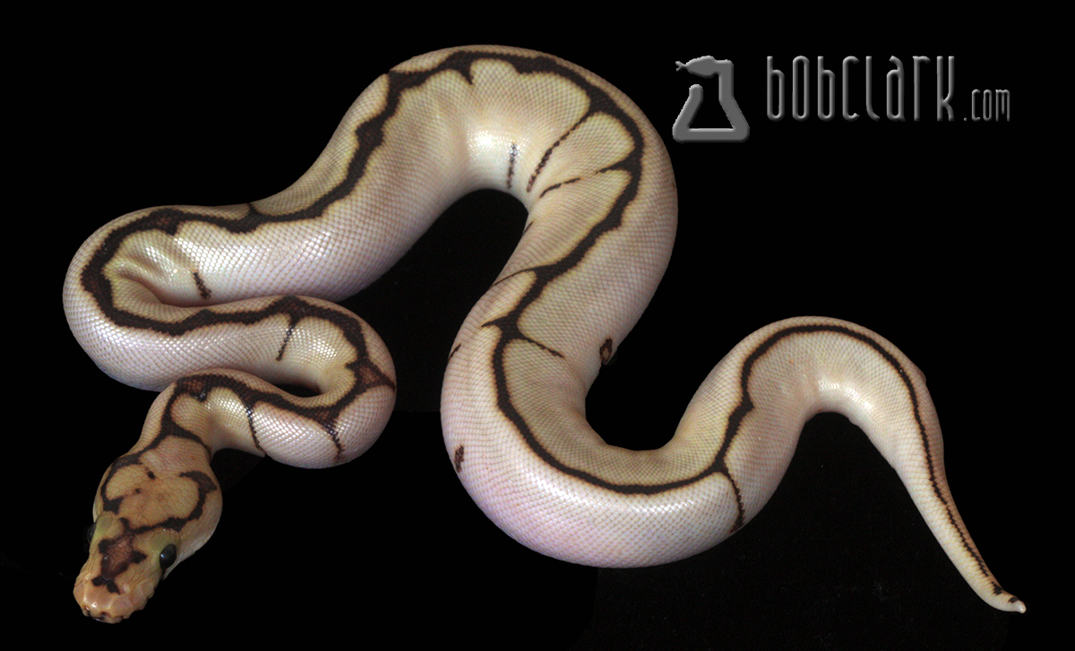 Bob Clark Reptiles : Available Ball Pythons